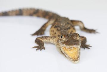 Dangerous small alligator