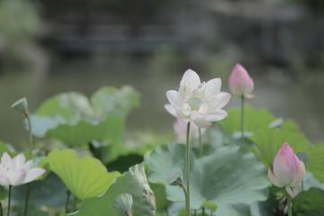 blooming lotus flower and Lotus flower plants