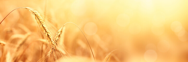 Sunny golden wheat field