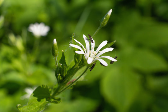 Addersmeat in Blossom