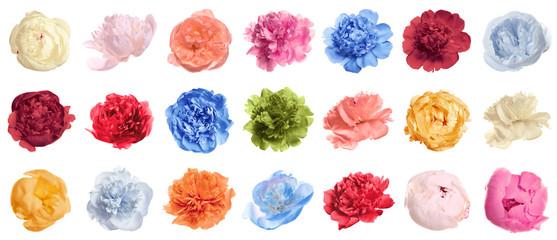 Set of different tender peonies on white background. Fragrant spring flowers Fototapete