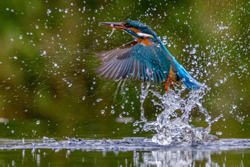 Fototapeten Natur Kingfisher with fish emerge from surface