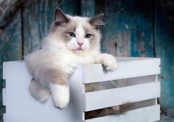 regdoll male catregdoll male cat on blue background.