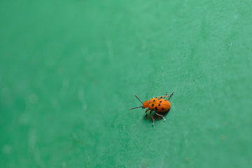 A small cute red spotted bug crawls on a uniform green surface. Macro photography of insects, selective focus