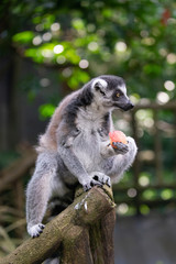 A grey ring tailed lemur with a piece of red fruit in its paws,  looking away from camera