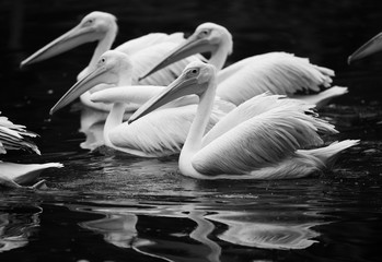 swimming pelicans and their reflection in black and white