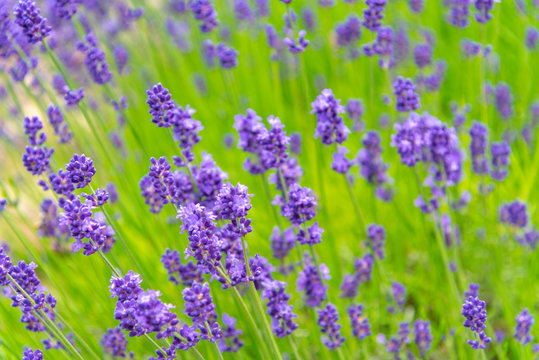 close-up violet Lavender flowers field at summer sunny day with soft focus blur background. Furano, Hokkaido, Japan