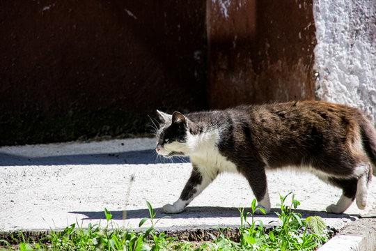 Black cat walks on the sidewalk among green grass close up