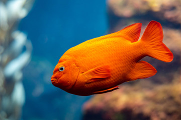 Fototapeta Garibaldi fish (Hypsypops rubicundus), a bright orange type of damselfish, are the official marine fish of California and are protected in the local waters. The are numerous on Santa Catalina Island. obraz