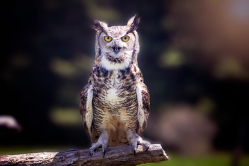 Fototapete - A great horned owl sitting on a tree