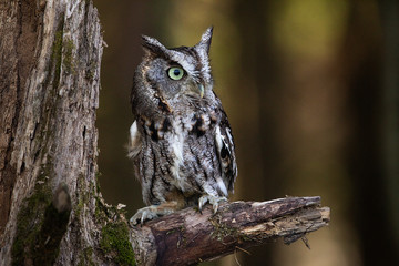 Fototapete - Screech Owl Sitting on a tree