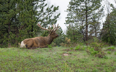 Bull Elk at Rocky Mountain National Park