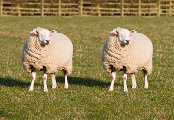 Fond de hotte en verre imprimé Sheep Sheep Cloning. Two identical sheep standing in a field. Photoshopped Dolly the Sheep.
