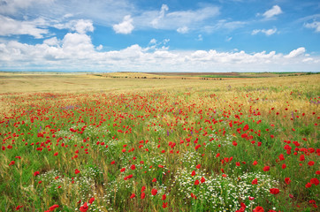 Wall Mural - Meadow of wheat and poppy at day.