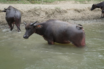 buffalos in water - kota kinabalu