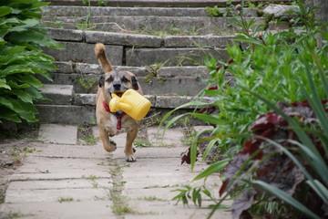 Fototapeta Pies ,biegnący pies ,pies z konewką ,pies ogrodnik obraz