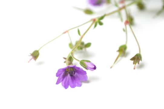 closeup of wild purple flowers on white background