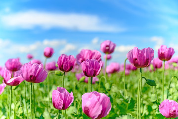 Sommerwiese mit lila Mohn, Blumen