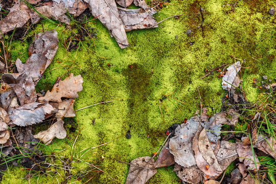 The natural forest background with vibrant green moss and dry fallen leaves of oak