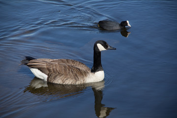 A Canada goose (Branta canadensis) and a Eurasian coot or common coot (Fulica atra) swimming aside in the brackish water of a lake in a park in Munich in Bavaria, Germany