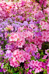 Pink and purple azaleas in city botanical garden