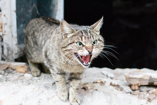 Angry agressive cat closeup. Cat is showing teeth with open mouth with old ruined house window background