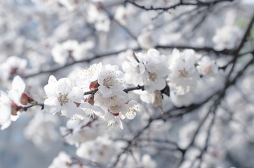 Wall Mural - Spring floral background with blooming sakura cherry flowers blossom