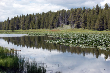 Swan lake covered with waterlily pods in Grand Teton National Park