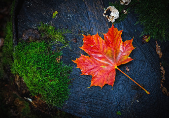 Flat lay picture of a wet red maple leaf, Acer platanoides L., lying on a mossy tree stump. Autumn or fall season concept image with copy space.