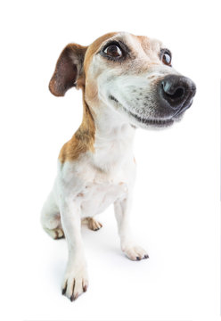 Adorable funny smiling dog. White background. Don't worry be happy attitude. positive emotions behavior