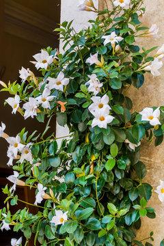 White Mandevilla, Rocktrumpet Flowers in a Stone Pot on the Street