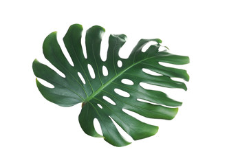Green fresh monstera leaf isolated on white. Tropical plant