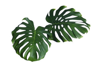 Green fresh monstera leaves on white background. Tropical plant