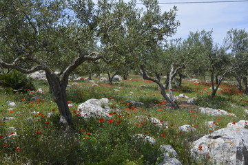 Photo sur Toile Oliviers Les oliviers