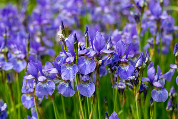 Keuken foto achterwand Iris Blue flowers Iris versicolor beautifully blooming in the garden