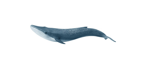 Blue whale. Isolate on white background