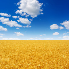 Photo of yellow wheat field with blue sky and clouds at summer