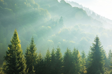 Foto op Canvas Bomen spruce treetops on a hazy morning. wonderful nature background with sunlight coming through the fog. bright sunny atmosphere