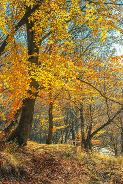 autumn forest on a sunny day. beautiful nature background. yellow and orange foliage on twigs.