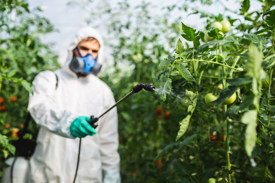 Young worker spraying organic pesticides on tomato plants in a greenhouse.