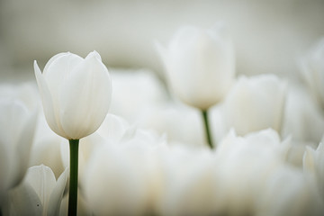 Foto op Canvas Tulp Detail of white tulip blooms from the Keukenhof gardens in the Netherlands