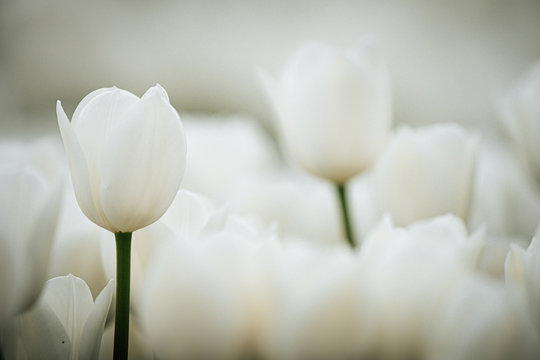Detail of white tulip blooms from the Keukenhof gardens in the Netherlands