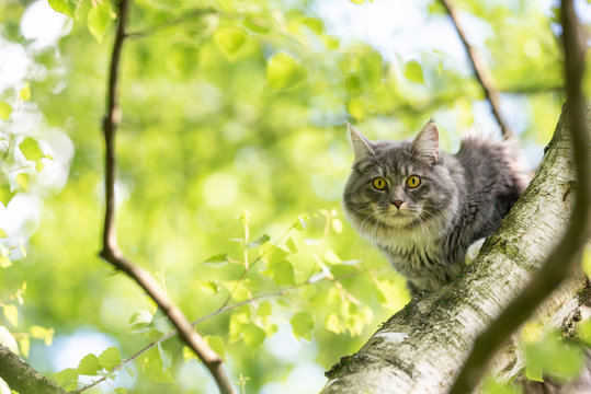 young blue tabby maine coon cat sitting on birch tree looking down at camera curiously