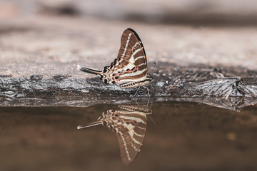 Printed kitchen splashbacks Butterflies in Grunge Tail Jay butterfly and reflection in water with nature background.