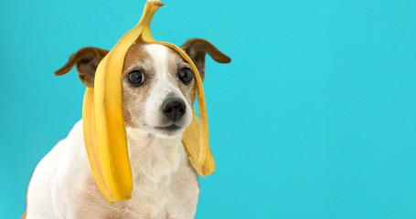 Funny Jack Russell Terrier dog with banana peel on its head looking at camera on a blue background Wall mural