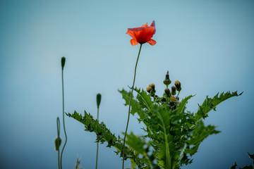 Poppy on the blue background