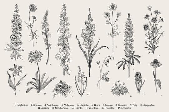 Garden flowers. Set. Vintage vector botanical illustration. Black and white