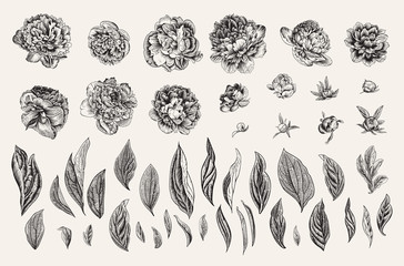 Vintage vector botanical illustration. A set of independent elements. Flowers, buds and leaves of peonies. Black and white Fotoväggar