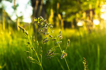 Kentucky Bluegrass (poa pratensis) in sunset light with light rays coming in from the right