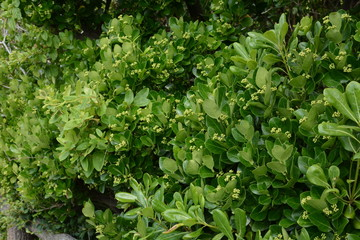 The evergreen Japanese spindle tree (Euonymus japonica) is used for hedges. Wall mural